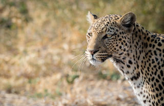 Leopards in Chobe