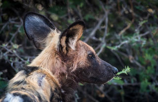 Wild Dogs in Camp Savuti