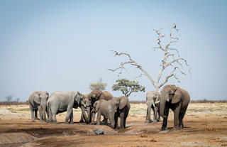 Elephant Herds at Camp Savuti